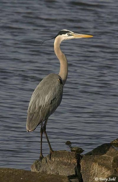 Great Blue Heron - Rogue River, Gold Beach, OR & all over Central Oregon lakes & rivers; also Summer Lake W.R. OR