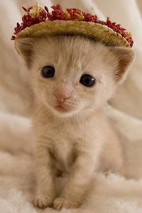 little cat with hat