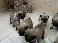 Baby pugs on the loose!