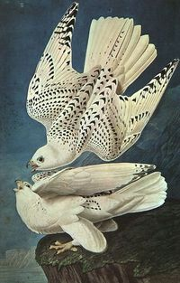 John James Audubon, White Gerfalcons, n.d.