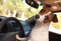 Jack Russel in auto Dog in the car