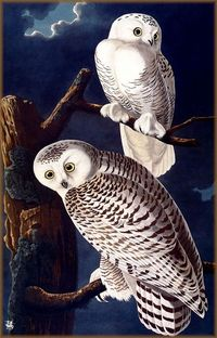 John James Audubon Painting 47.jpg