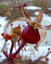 Rose Hips! The strongest source of Vitamin C in the world. Recipe for rosehip simple syrup...
