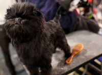 Banana Joe, an Affenpinscher and the cutest dog ever, wins Best In Show at Westminster!