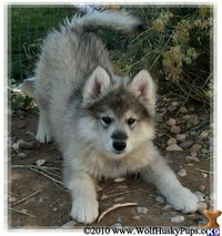 Wolf Dog breeds- beautiful