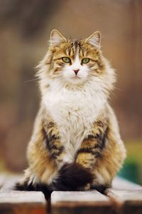 Gorgeous Main Coon