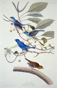 Audubon Blue Birds