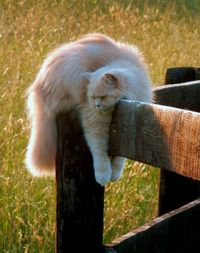 Butters~ Cat on a Country Fence Post
