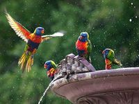 Rainbow Lorikeet's
