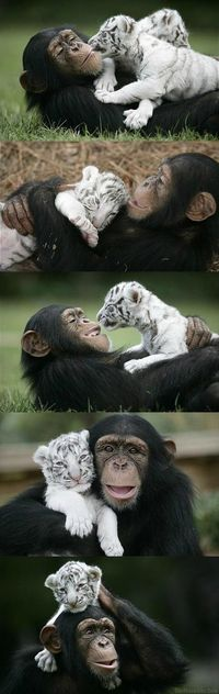 chimp & tiger cub.