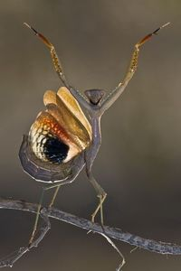 Amazing Macro Photography Of Insects. Mantis.